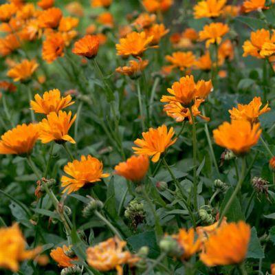 Körömvirág gyógynövény